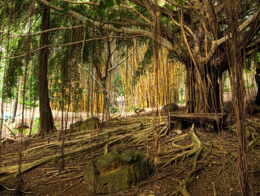 A beautiful Banyan tree