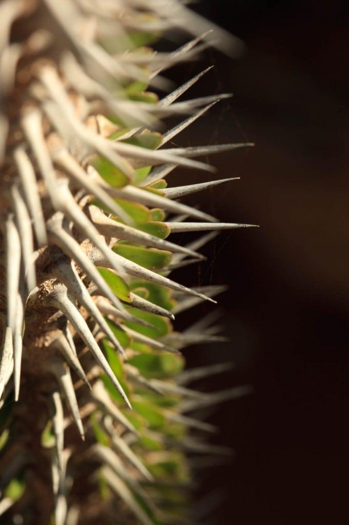 Cactus kapu