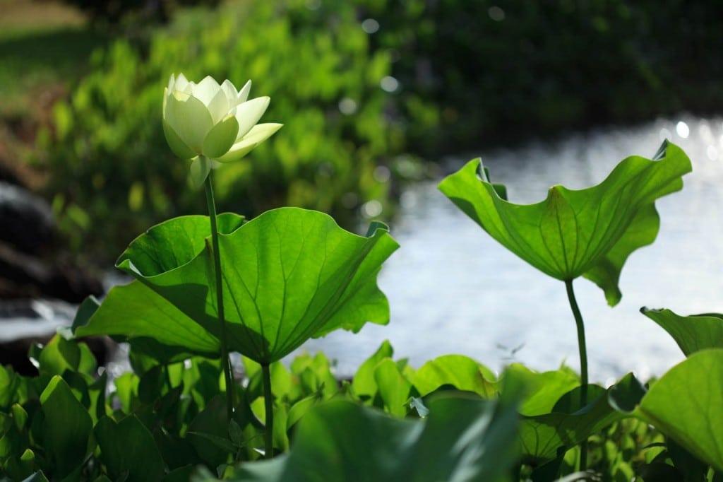 Vibrant lotus
