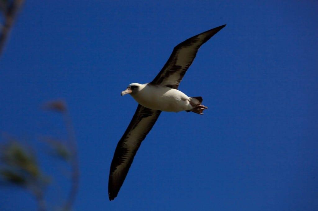 Soaring albatrosses